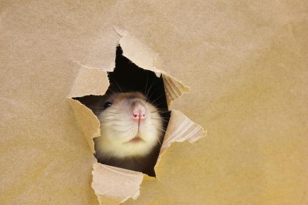 Szczur patrzy przez nierówną dziurę w papierze