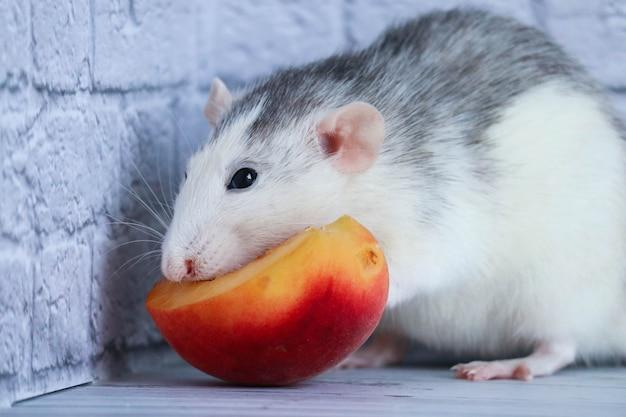 Szczur zjada soczystą słodką i pyszną brzoskwinię