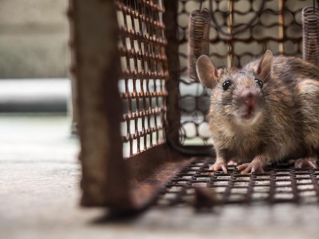 Szczur znalazł się w klatce łapiąc szczura. szczur spowodował zakażenie ludzi