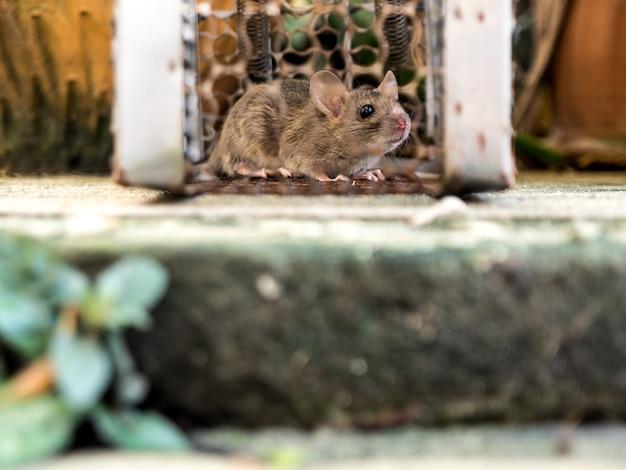 Szczur znalazł się w klatce łapiąc szczura