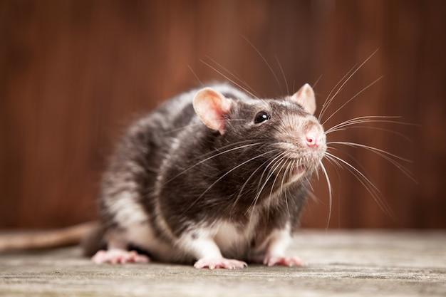 Szczur zwierzę