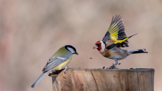 Szczygieł, carduelis carduelis na karmniku dla ptaków.