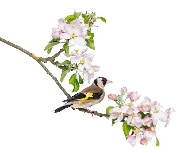 Szczygieł zwyczajny, carduelis carduelis, siedzący na kwitnącej gałęzi, na białym tle