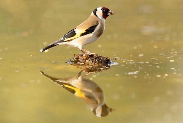Szczygieł zwyczajny w naturalnym punkcie wody pijący w świetle późnego popołudnia