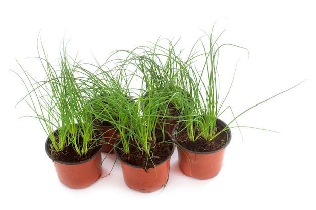 Szczypiorek roślin