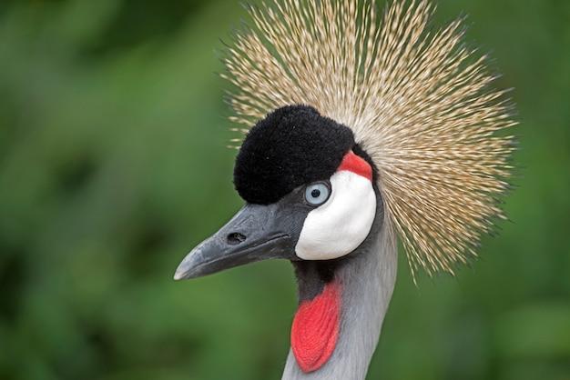 Szef czarnego koronowanego żurawia, balearica pavonina