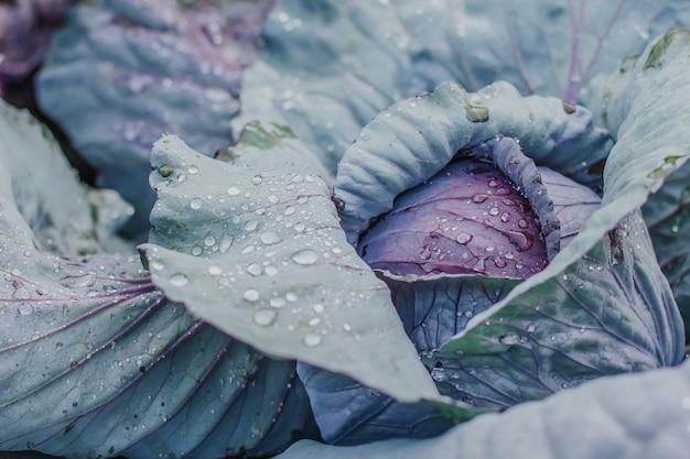 Szef fioletowej kapusty w ogrodzie pokrytym kroplami wody.