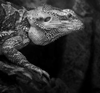 Szef iguana