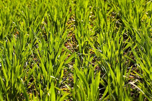 Szeregi kiełków świeżo uprawianej zielonej pszenicy. mała głębia ostrości