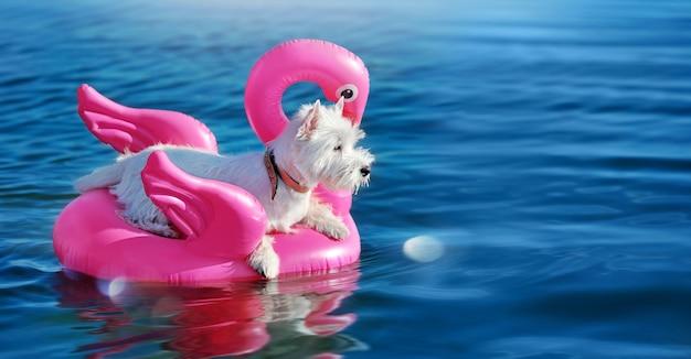 Szeroka karta z west highland terrier odpoczywającymi w basenie