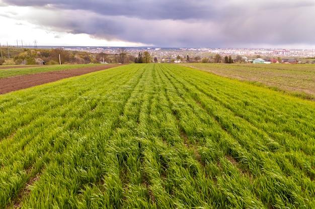 Szeroka panorama pola zielonej świeżej pszenicy lub kukurydzy w odległych budynkach miasta i drzewach pod zachmurzonym niebieskim niebem. koncepcja krajobrazu wiejskiego, rolnictwa, zbiorów i rolnictwa latem lub wiosną.