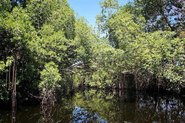 Szeroka rzeka w pobliżu black river na jamajce, egzotyczny krajobraz w namorzynach