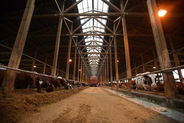 Szeroki kąt obrazu tła przemysłowej obory z krowami w rzędach jedzących siano, kopia przestrzeń