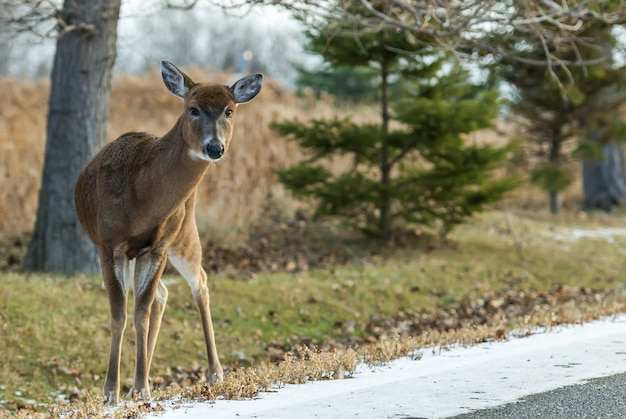 Szeroki kąt strzału jelenia stojącego za kilkoma drzewami w ciągu dnia