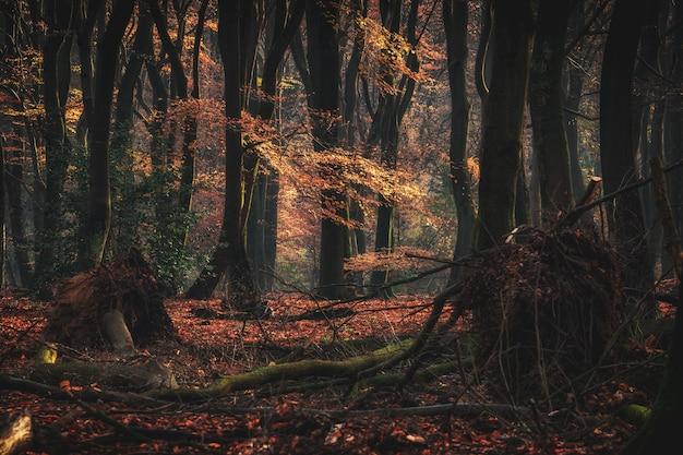 Szeroki kąt strzału wysokich drzew leśnych z opadłymi gałęziami jesienią