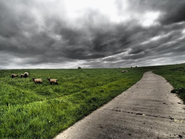 Szeroki kąt strzału zwierząt gospodarskich wypasanych na trawie obok drogi pod zachmurzonym niebem