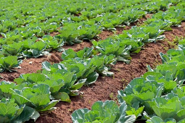 Szeroki widok plantacji kapusty