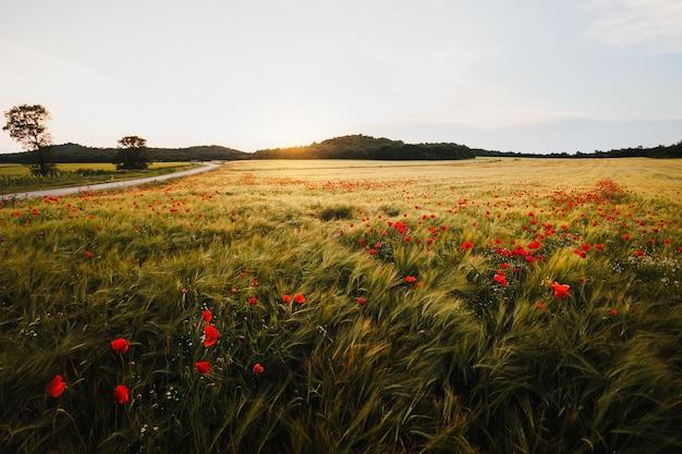 Szerokie pole makowe w wietrzny dzień o zachodzie słońca