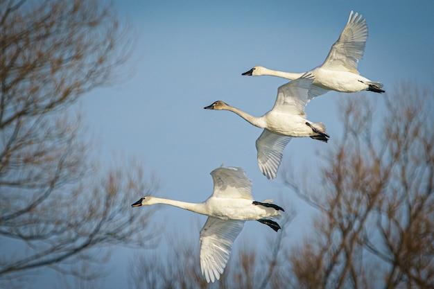 Szerokie ujęcie grupy łabędzi tundrowych latających i migrujących na zachmurzonym niebie