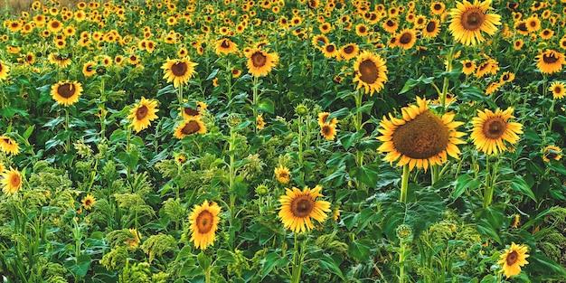 Szerokie ujęcie pięknego pola słonecznika