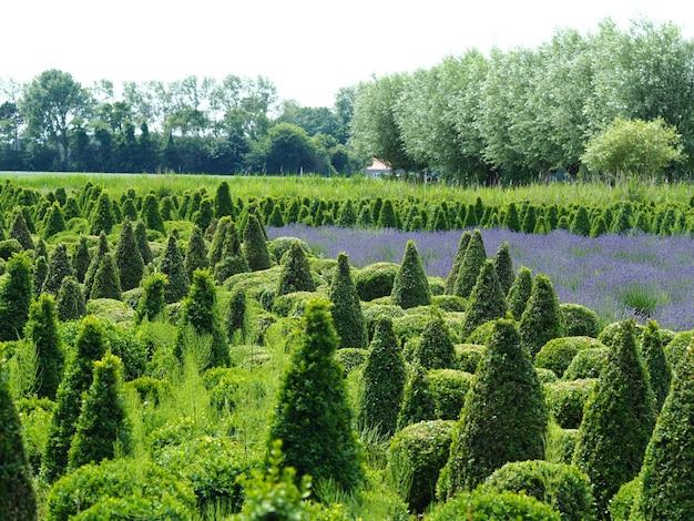 Szerokie ujęcie pola roślin tui z różnymi zielonymi drzewami, białe jasne niebo w tle