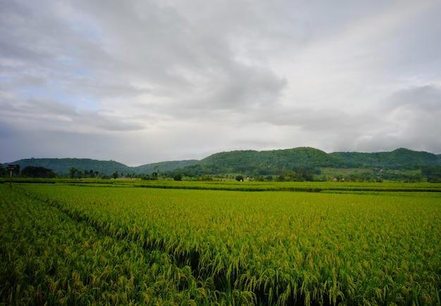 Szerokie ujęcie pola ryżowego lub ryżu w wiosce indonezji.