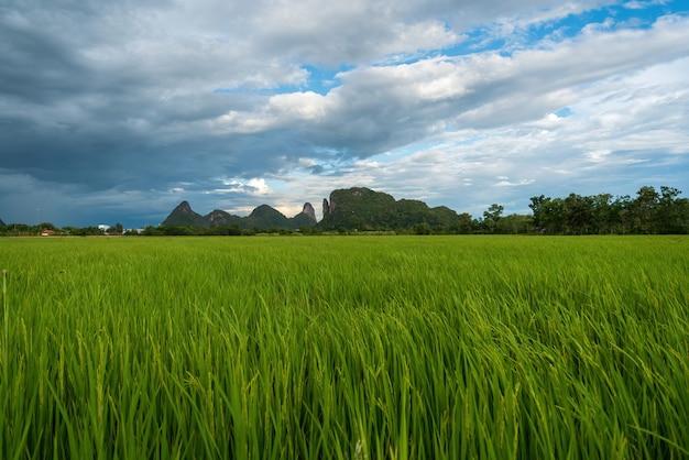 Szerokie zielone pola ryżowe i błękitne niebo.