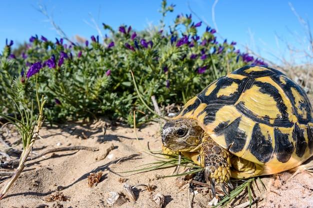 Szerokokątny żółw hermanna (testudo hermanni)