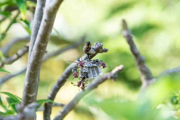 Szerszeń gniazduje w krzaku gniazduje w drzewach