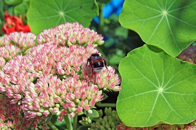 Szerszeń na jesienne flowerses