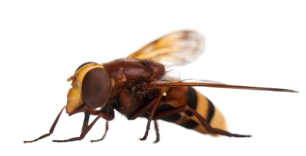 Szerszeń naśladuje hoverfly, volucella zonaria na bielu odizolowywającym