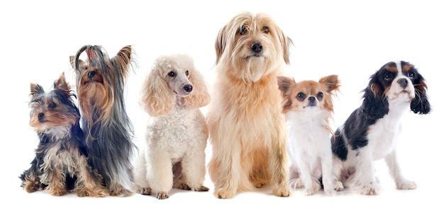 Sześć małych psów na białym tle