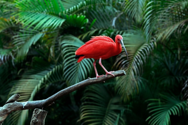 Szkarłatny ibisa zbliżenie na drzewnym bagażniku