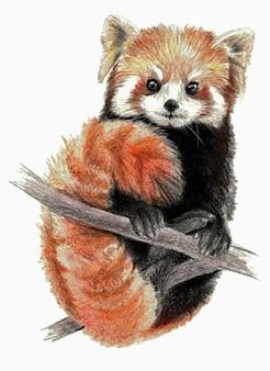 Szkic kolor - red panda na drzewie. na białym tle. szczegółowy rysunek ołówkiem