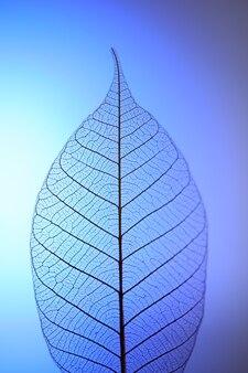 Szkielet liść na niebiesko, z bliska