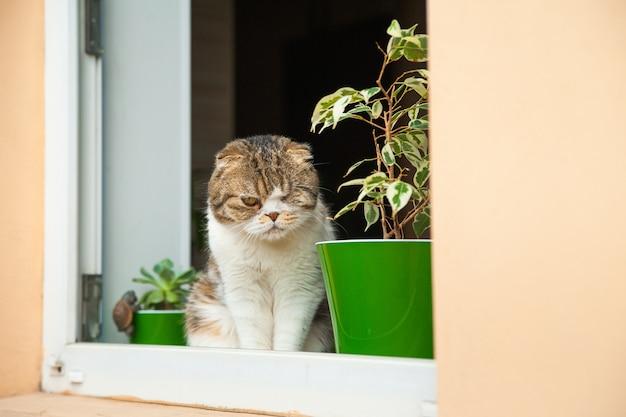 Szkocka fałda wygląda przez okno. kot patrzy, podgląda i kopiuje przestrzeń.
