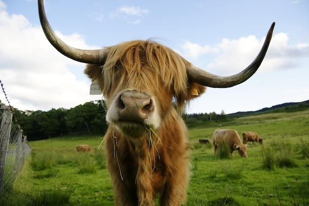 Szkocka krowa z dużymi rogami