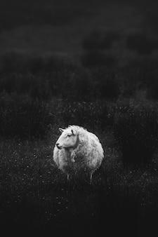 Szkocka owca stojąca samotnie na polu w skali szarości