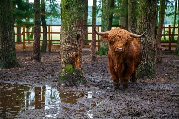 Szkocki byk góralski stojący w błocie na farmie w lesie