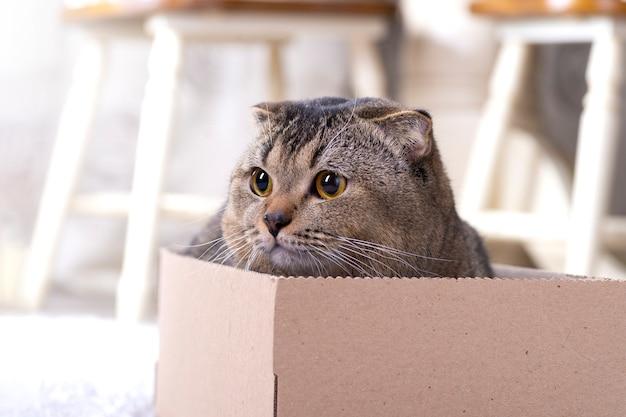 Szkocki kot w kartonowym pudełku na podłodze w salonie.