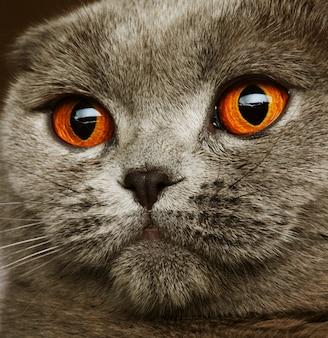 Szkocki szary kot