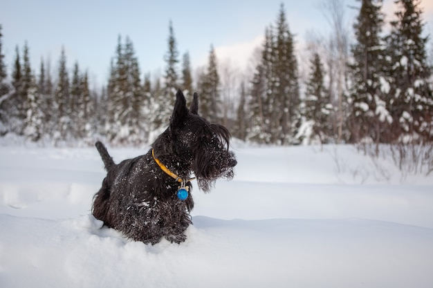 Szkocki terier na śniegu.