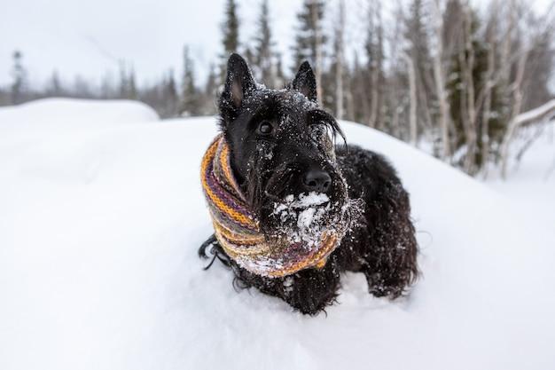 Szkocki terier na świeżym powietrzu w śniegu