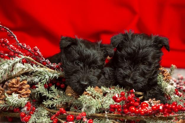 Szkocki terier szczenięta pozowanie. śliczne czarne pieski lub zwierzaki bawiące się dekoracjami świątecznymi i noworocznymi.