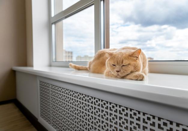 Szkocki zwisłouchy czerwony kot leży na parapecie