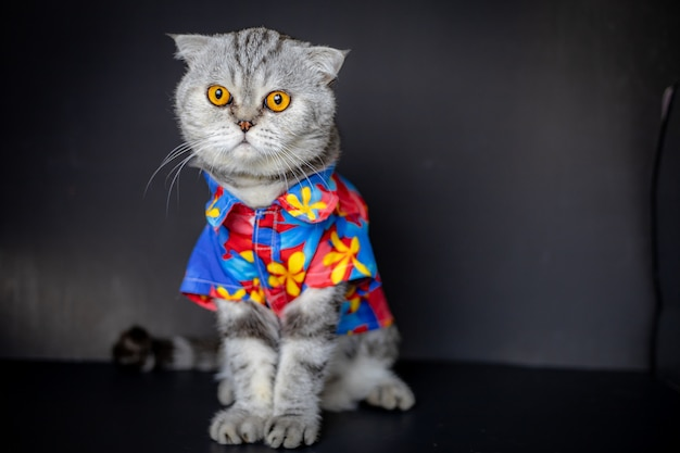 Szkocki zwisłouchy kot ma na sobie kwiecistą koszulę.
