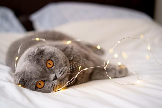 Szkocki zwisłouchy kot otoczony świecącymi światłami.