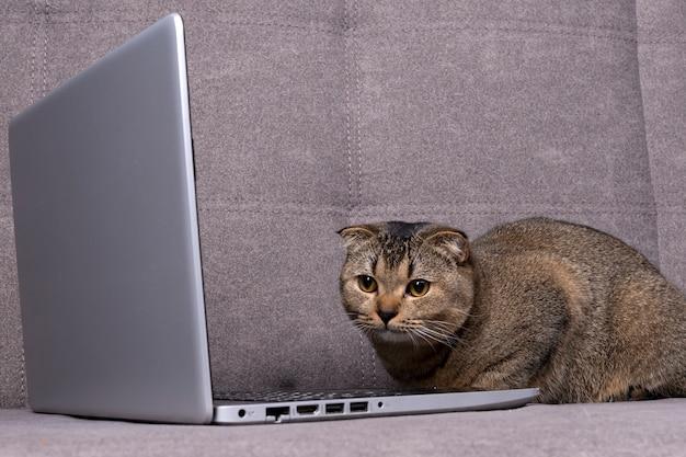 Szkocki zwisłouchy kot z laptopem na kanapie.