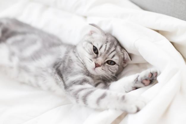 Szkocki zwisłouchy kotek siedzi w łóżku