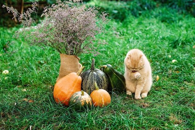 Szkocki zwisłouchy żółty kot siedzi na trawie i myje jesiennymi dyniami na halloween